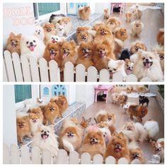 Pomeranian family reunion