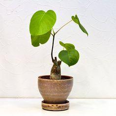 【観葉植物インテリア】ボンバックス/インドアグリーン/開店・新築・引越・お祝いに!【RCP】