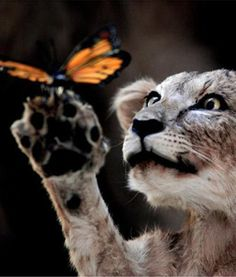 Lion cub meets butterfly