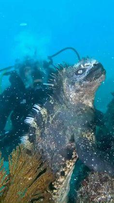 Beautiful Sea Creatures, Animals Beautiful, Funny Animal Videos, Cute Funny Animals, Nature Animals, Animals And Pets, Marine Iguana, Ocean Creatures, Reptiles