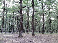 Foloi oak forest - Wikipedia, the free encyclopedia