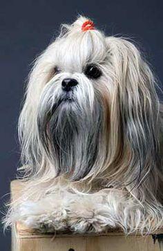 Rasy psów Lhasa Apso