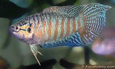 paradise fish - Google Search