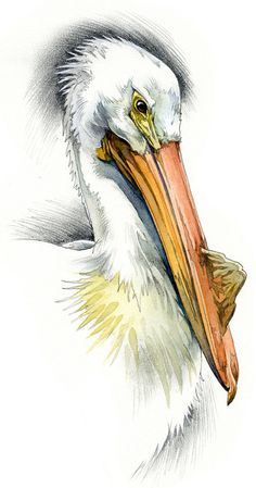 American White Pelican watercolour bird by RobManciniImages