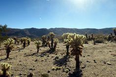 La beauté du Joshua Tree dans le désert californien.