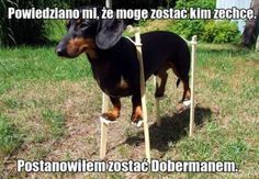 Tratando de pasar por un Doberman! Disguised as a Doberman!