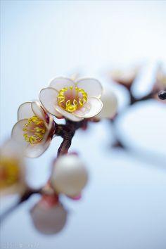 plum hairpin made by Sakae 白梅簪 2種 出品いたしました : 榮 - kanzashi sakae - 簪作家