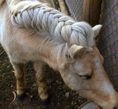 """The History Behind The Popular Trend Of Horse Mane Braiding The History Behind The Popular Trend Of Horse Mane Braiding The idea behind horse hair braiding actually originates from the mythical practice of """"elf knots."""" According to ancient folklore, fa Horse Mane Braids, Horse Hair Braiding, All The Pretty Horses, Beautiful Horses, Animals Beautiful, Beautiful Braids, Animals And Pets, Cute Animals, Horse Grooming"""