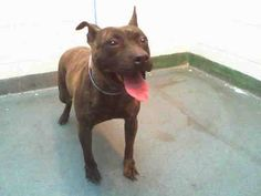 GONE 💔- JENNA (A1666757) I am a female brown brindle Pit Bull Terrier. The shelter staff think I am about 3 years old. I was confiscated and I may be available for adoption on 12/23/2014. — hier: Miami Dade County Animal Services. https://www.facebook.com/urgentdogsofmiami/photos/pb.191859757515102.-2207520000.1418945553./890389724328765/?type=3&theater