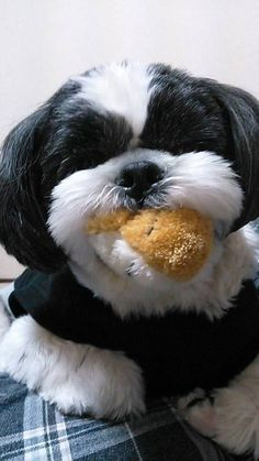 Cute Shih Tzu with toy