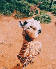 Just a fun giraffe Baby Animals Pictures, Cute Animal Pictures, Animals And Pets, Farm Animals, Cute Puppies, Cute Dogs, Cute Babies, Cute Little Animals, Cute Funny Animals