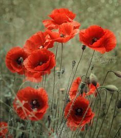 Poppy Field by Moira Swift on Poppy Photography, Nature Photography, Flowers Nature, Wild Flowers, Red Poppies, Flower Photos, Cool Artwork, Watercolor Flowers, Deviantart