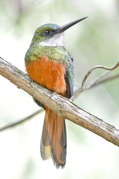 https://flic.kr/p/pMGrv4   Rufous-tailed Jacamar   Brotas, Brazil