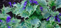 Ajuga incisa 'Bikun'. Short Plants, Garden Landscaping, Leaves, Canning, Landscape, Vegetables, Front Yard Landscaping, Scenery, Vegetable Recipes