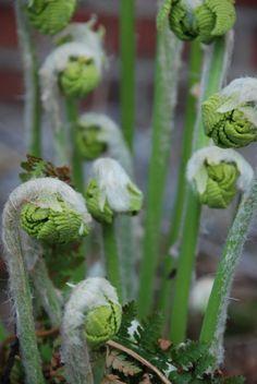 fiddlehead food fern spring 12 Fiddleheads: Beautiful as a Fern, Delicious as a Food