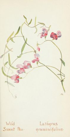 Field book of western wild flowers - sweet pea