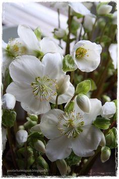 Jouluruusu Spring Blossom, Table Arrangements, Blossoms, Garden, Plants, Painting, Ideas, Flowers, Desk Arrangements