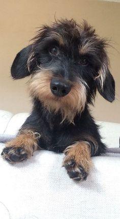 10 trucs à savoir absolument sur le Teckel, cet adorable «chien-saucisse»                                                                                                                                                                                 Plus #dachshund