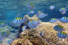 cabo pulmo snorkeling with Sergeant Major Fish