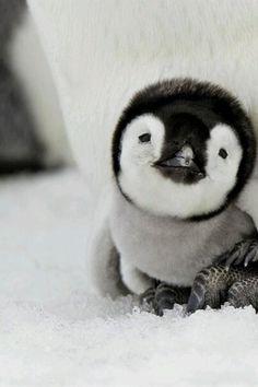 fuzzy baby penguin.