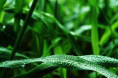 Water Droplets on a Leaf in Hawaii  #plant #water #droplets #leaf #hawaii #photography