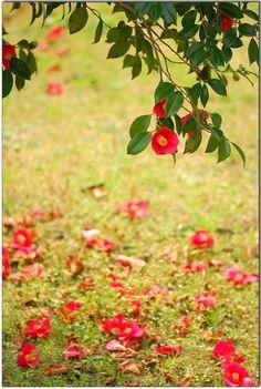 동백나무, 애기동백나무-겨울에 꽃피는 나무