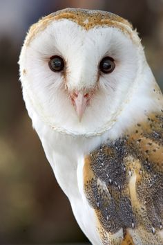 The Barn Owl is a medium sized owl found nearly worldwide & closely associated with man thru their use of barn lofts & church steeples as nesting sites. Diet: small ground mammals, esp. mice, shrews & rats. They prefer open woodlands to forests & breed rapidly in response to mouse plagues. They are found on all continents except Antarctica.