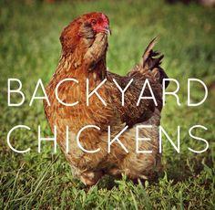 Benefits of backyard chickens!