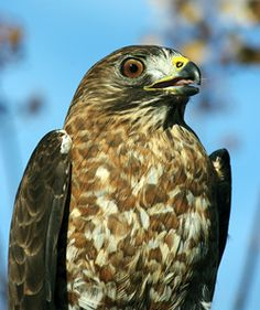 Manuel, the broad-winged hawk.
