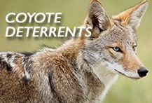 Find the best coyote deterrents to keep coyote away from your gardens and livestock: http://predatorguard.com
