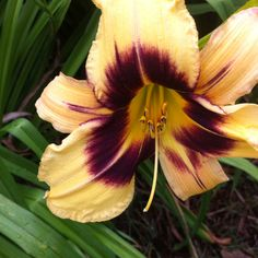 Daylilies - I have one of these in my yard!