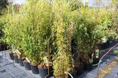Bamboe 1