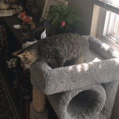 My blind foster cat getting down from the cat tree (x-post /gifs) http://ift.tt/2sQh7ai
