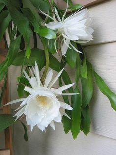 Epiphyllum oxipetallum, beautifull cactus with night flowers.