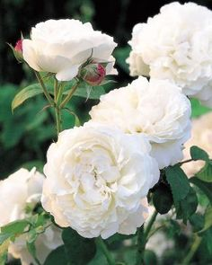 David Austin roses are known for their beauty, strength and individual unique qualities. Each David Austin Rose is special with it's own scent. Roses David Austin, David Austin Rosen, David Rose, Pretty Flowers, White Flowers, White Peonies, Silk Flowers, Winchester Cathedral Rose, Shrub Roses