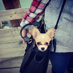 Chihuahua  Cariño in a purse