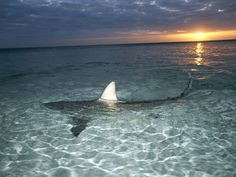 The fin of a blacktip shark slices the water's surface.