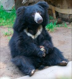 Different kind of aww. This is a sloth bear. #Cute