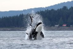 "Amazing orca photo from ""Ocean EcoVentures Whale Watching - Cowichan Bay"""