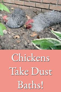 Explains why chickens take dust baths instead of water baths, why dust bathing is important, and how to easily set-up and maintain dust baths for your chickens. #Dustbathingchickens #Dustbathing<br> Backyard Poultry, Chickens Backyard, Pet Chickens, Raising Chickens, Future Farms, Work With Animals, Hens, Livestock, Farm Animals