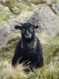 "Gorgeous Herdwick lamb going through that awkward ""balaclava"" phase. Farm Animals, Animals And Pets, Cute Animals, Primitive Sheep, Baa Baa Black Sheep, Counting Sheep, Sheep And Lamb, The Shepherd, Lake District"