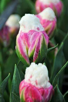 Close Up Ice Cream tulip image