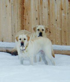 Snow Dogs~ Ginger and Gracie