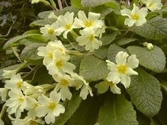 In Celtic myth, a patch of primroses marks the gateway to the fairy realms.