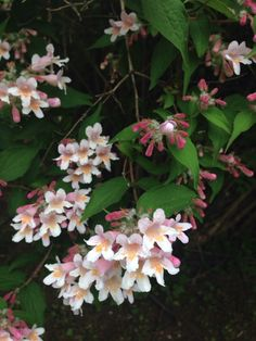 Beauty Bush (kolkwitzia amabilis): This appears to be Kolkwitzia, a lovely deciduous shrub with many trunks and a large fountain shape. In mid to late spring, it is covered in clusters of pink flowers. Needs full sun or partial shade and regular water.