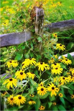 Black Eyed Susans overtaking the split rail fencing along a rural road in Connecticut's Litchfield Hills.