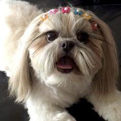 Shih Tzu, ¨Pacham¨, Puppie