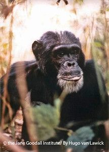 DAVID GREYBEARD : Dr. Jane Goodall's favorite chimpanzee, after all of these years, is still David Greybeard, the very first individual at Gombe to have trusted Jane. David Greybeard, easily recognizable by his silver facial hair, was also the first chimp Jane saw using tools and the first she observed eating meat. David Greybeard died during a pneumonia epidemic in 1968.