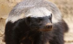 """Deemed """"the most fearless animal in all the animal kingdom"""" by Guiness, the honey badger will go after anything. Description from meghancarter.com."""