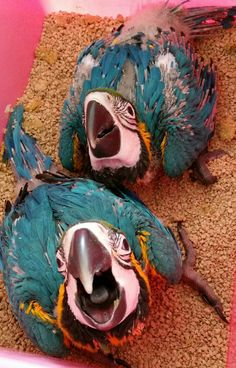 89 Best FOR SALE: Hand Raised Pet Birds available now! images in